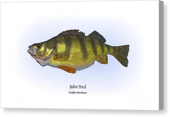 Angling Art Canvas Print - Yellow Perch by Ralph Martens
