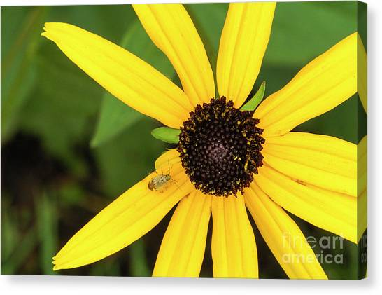 Yellow Petaled Flower With Bug Canvas Print