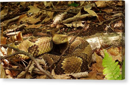 Timber Rattlesnakes Canvas Print - Yellow Phase by Steven Shaffer
