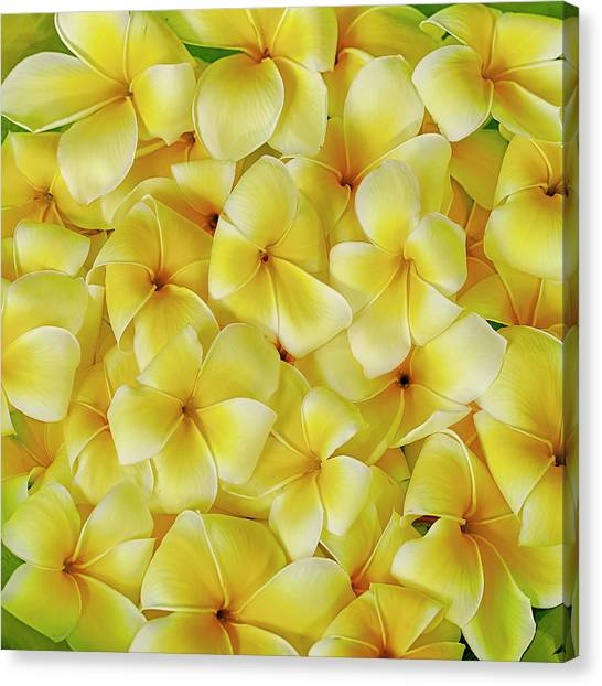 Yellow Plumerias Canvas Print