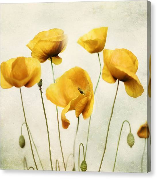 Mustard Canvas Print - Yellow Poppies - Square Version by Amy Tyler