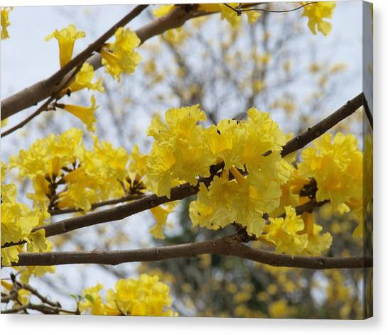 Yellow Poui In Bloom Canvas Print by Peter Hanoomansingh