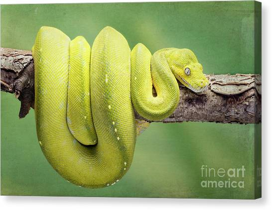 Burmese Pythons Canvas Print - Yellow Python by Linda D Lester