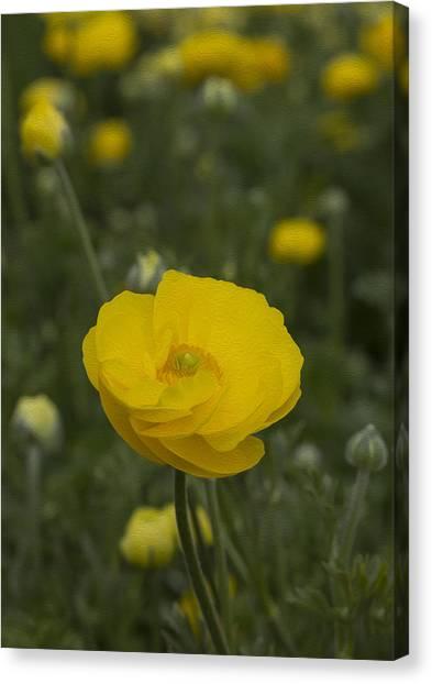Yellow Ranunculus Flowers Canvas Print