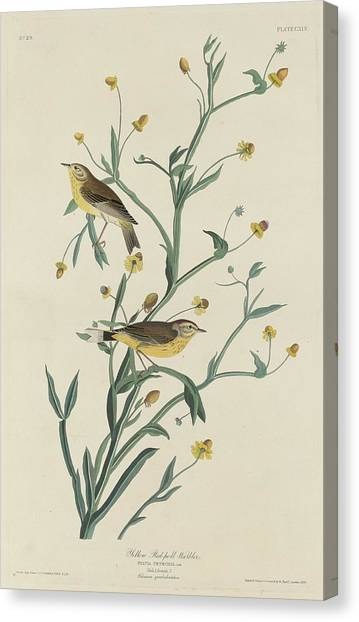 Warblers Canvas Print - Yellow Red-poll Warbler by Dreyer Wildlife Print Collections
