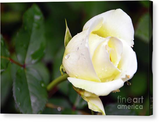 Yellow Rose 2 Canvas Print