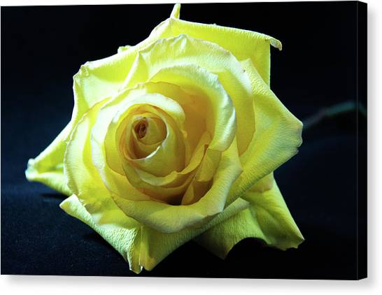 Yellow Rose-7 Canvas Print