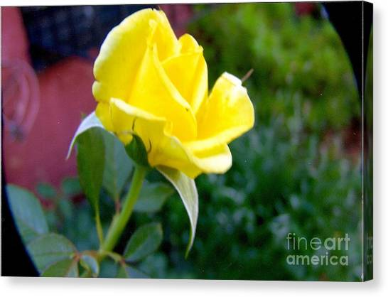 Yellow Rose Bud Canvas Print by Rod Ismay