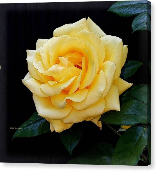 Yellow Rose Canvas Print by Edward Haskell