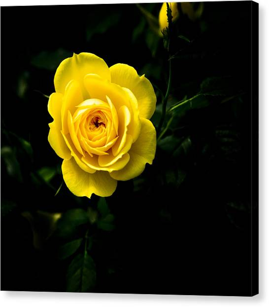Yellow Rose Canvas Print by John Ater