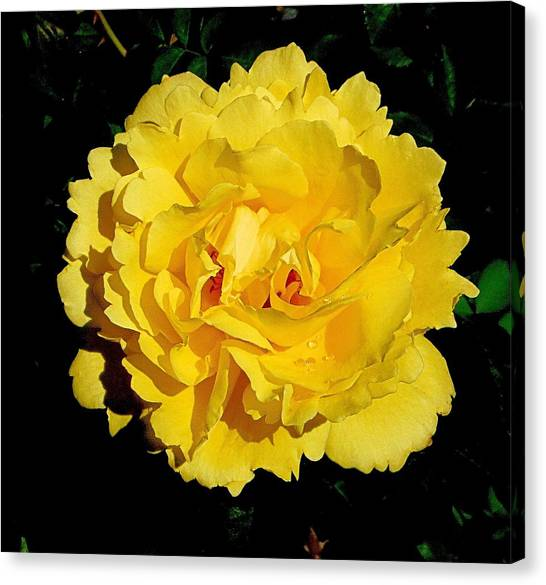 Yellow Rose Kissed By The Rain Canvas Print