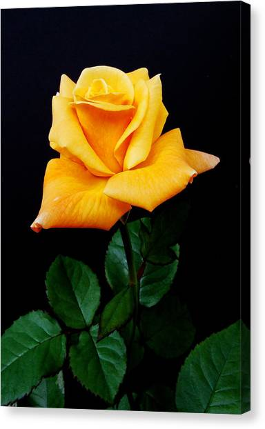 Perennial Canvas Print - Yellow Rose by Michael Peychich