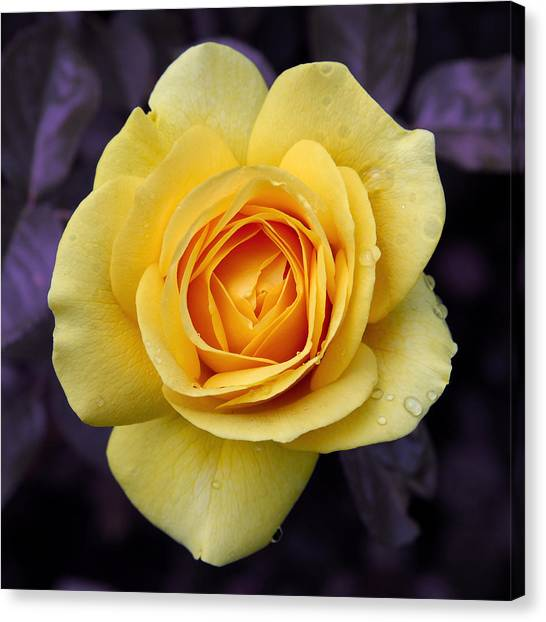 Yellow Rose Square Canvas Print
