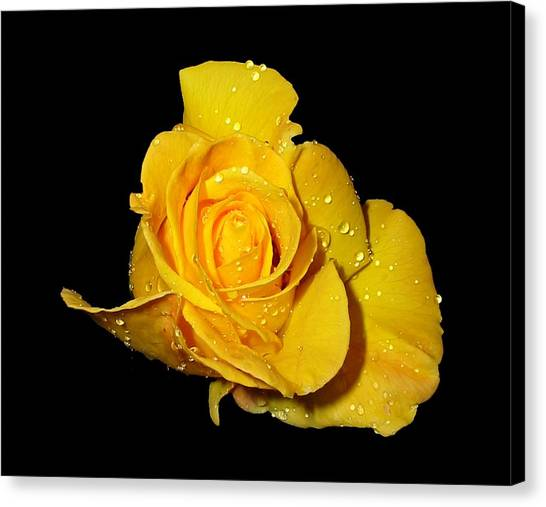 Yellow Rose With Dew Drops Canvas Print
