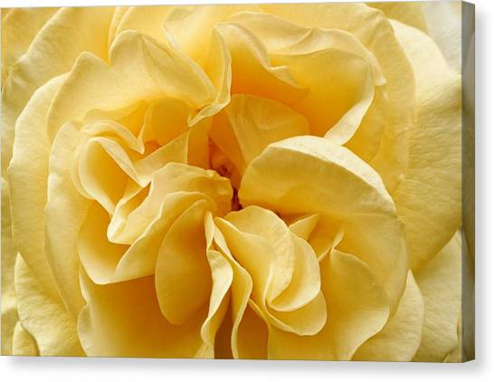 Yellow Ruffles - Rose Canvas Print