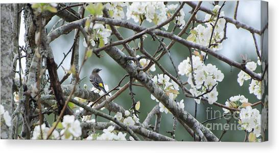 Yellow-rumped Warbler In Pear Tree Canvas Print