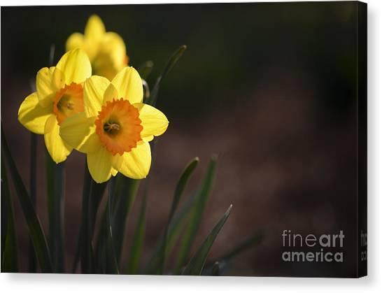 Yellow Spring Daffodils Canvas Print