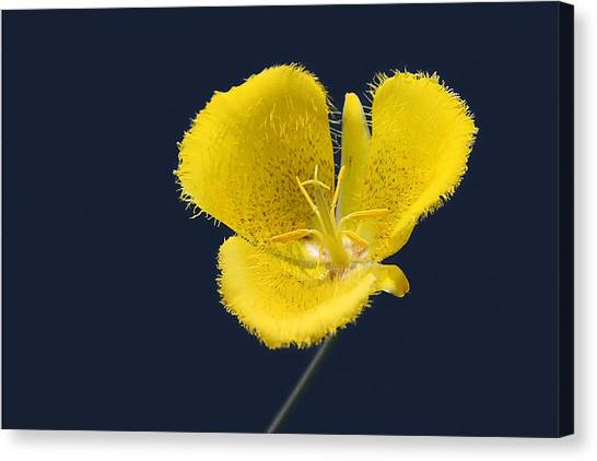 Floral Canvas Print - Yellow Star Tulip - Calochortus Monophyllus by Christine Till