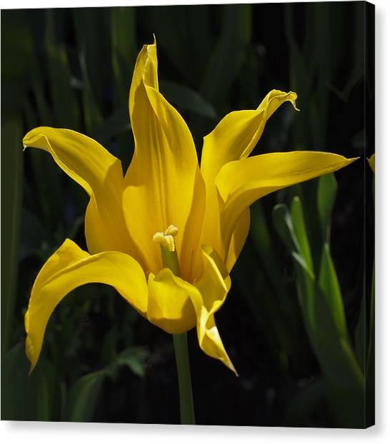Canvas Print - Yellow Star Tulip by Rona Black