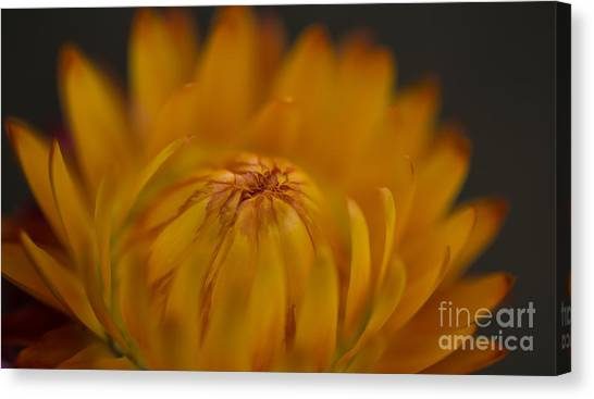Yellow Strawflower Blossom Close-up Canvas Print