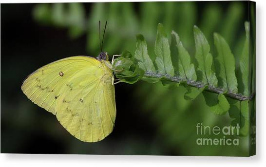 Sulfur Butterfly Canvas Print - Yellow Sulfur On Fern  by Ruth Jolly