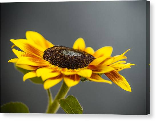 Yellow Sunflower Photograph Canvas Print