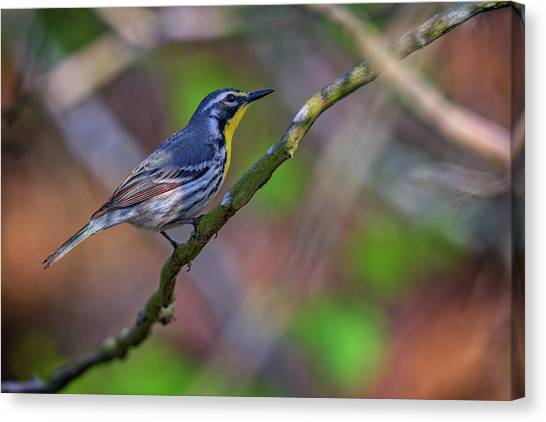 Warblers Canvas Print - Yellow-throated Warbler by Rick Berk