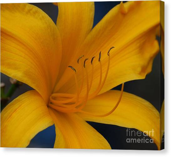 Yellow Tiger Lilly Canvas Print
