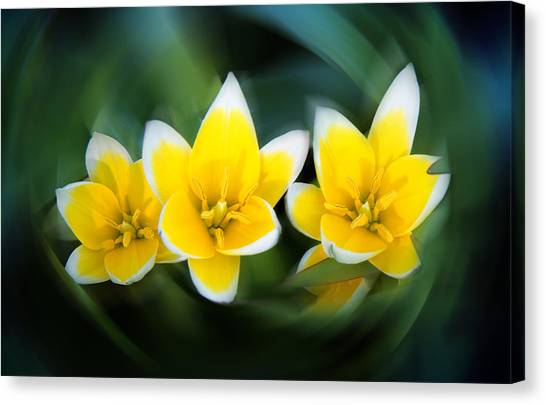 Yellow Trio Canvas Print