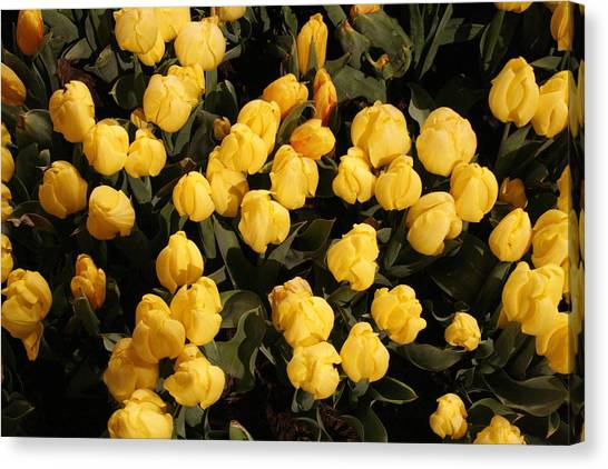Yellow Tulips Canvas Print by Jeff Porter