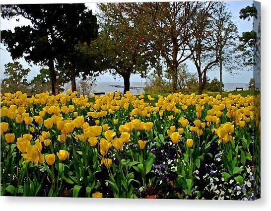 Yellow Tulips Of Fairhope Alabama Canvas Print