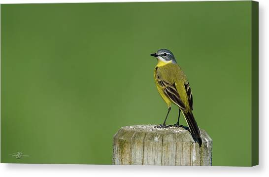 Yellow Wagtail Perching On The Roundpole Canvas Print