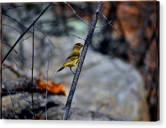 Yellow Warbler 2 Canvas Print