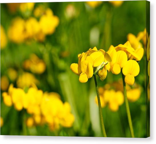 Yellow Wild Flowers Canvas Print by Edward Myers