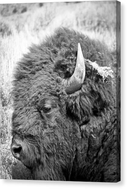 Yellowstone Buffalo Canvas Print by Jonathan Hansen