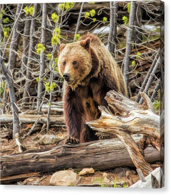 Canvas Print featuring the painting Yellowstone Grizzly Bear by Christopher Arndt