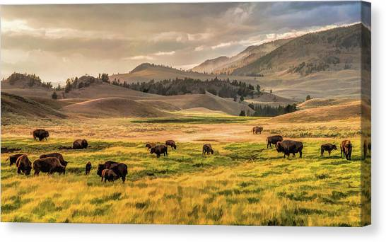 Yellowstone National Park Lamar Valley Bison Grazing Canvas Print