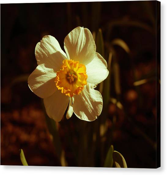 Yesteryear Daffodil Canvas Print