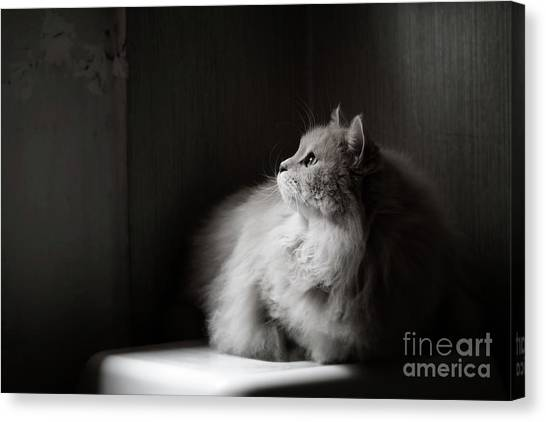 Siberian Cats Canvas Print - Yet Another Rainy Day by Giuseppe Esposito