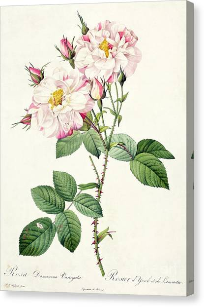 Spring Canvas Print - York And Lancaster Rose by Pierre Joseph Redoute