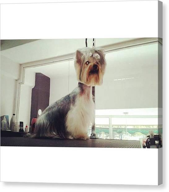 Schnauzers Canvas Print - Yorkshire #doggrooming #groomer by Jonas Seijas