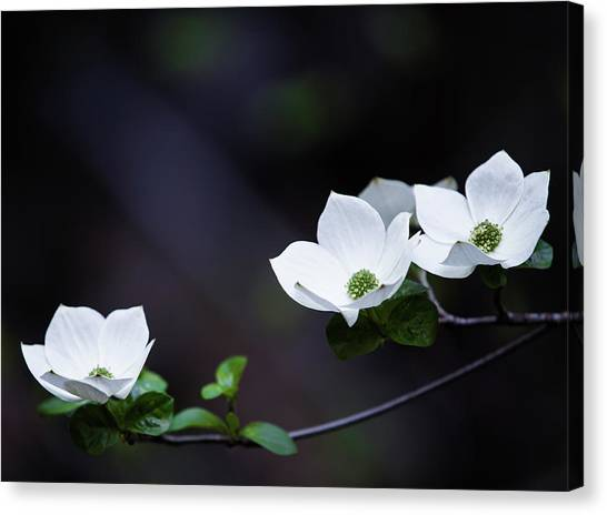 Cloud Forests Canvas Print - Yosemite Dogwoods by Larry Marshall