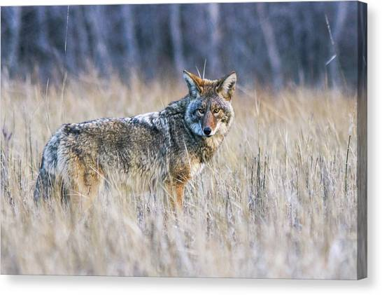 Yosemite Valley Coyote Canvas Print