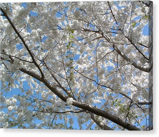 Yoshino Cherry Blossoms Canvas Print