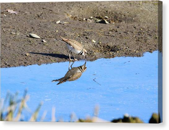 Killdeer Canvas Print - You Look Familiar  by Karen Silvestri