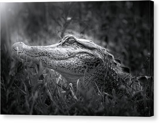 University Of Florida Canvas Print - Young Alligator At Sunrise by Mark Andrew Thomas