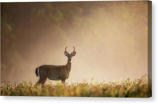 White-tailed Deer Canvas Print - Young Buck by Bill Wakeley