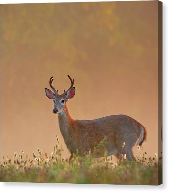 White-tailed Deer Canvas Print - Young Buck Square by Bill Wakeley
