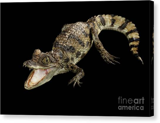 Reptiles Canvas Print - Young Cayman Crocodile, Reptile With Opened Mouth And Waved Tail Isolated On Black Background In Top by Sergey Taran