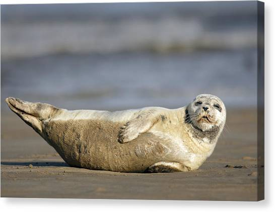 Young Common Seal Sleeping On The Beach Canvas Print
